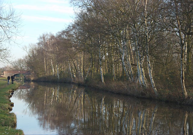 Birches beside the Trent & Mersey Canal
