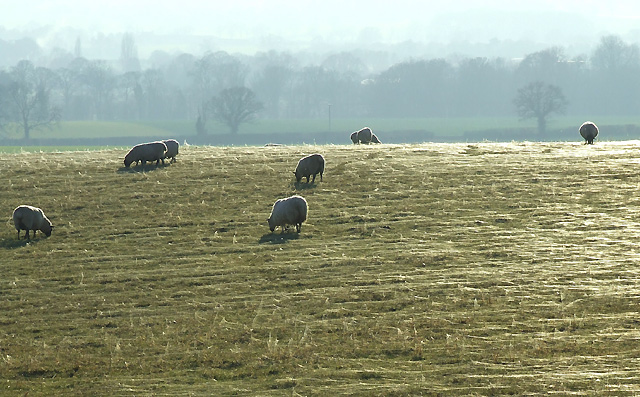 Sheep Grazing, near Long Common, Staffordshire
