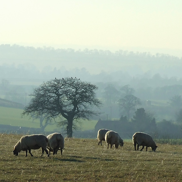 Winter Grazing, South Staffordshire