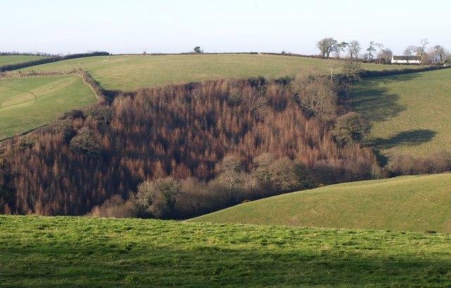 Conifer wood below Higher Cotley