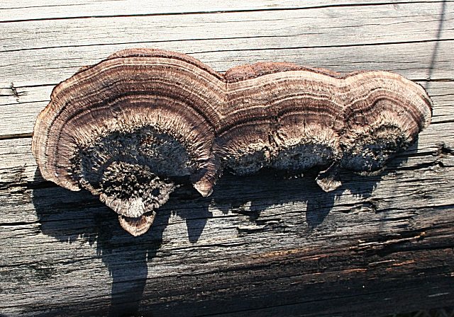 Fungus on a Fallen Log