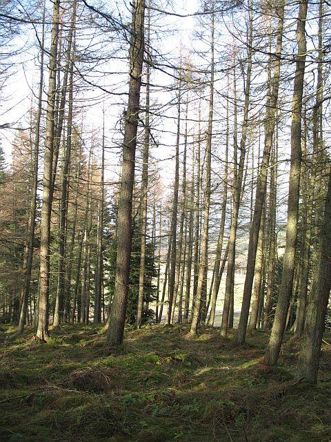 Larch woods, Rossie Ochill