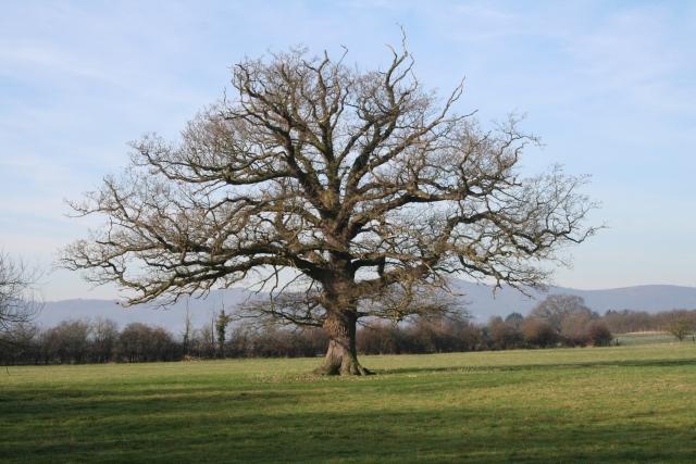 Standard Oak Tree