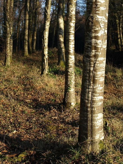 Birch trunks, Windy Cross