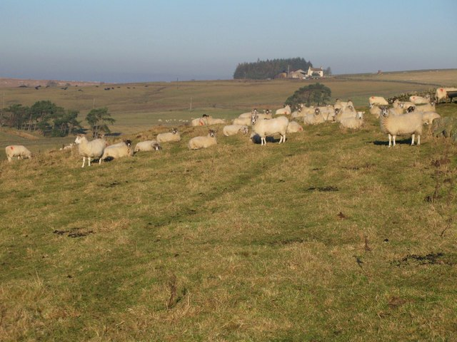 Sheep grazing above Housty