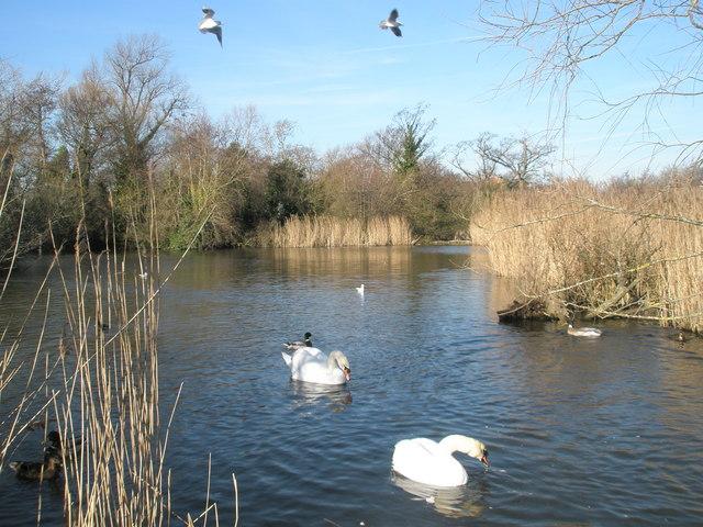 Swans feeding at Langstone