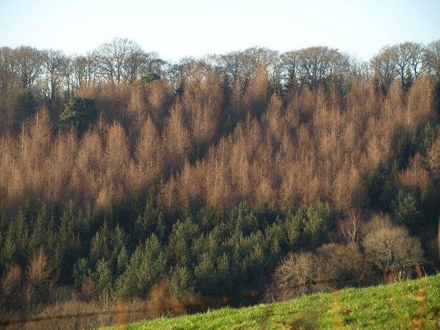 Conifers on hillside