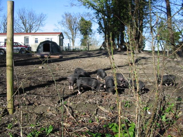 Piglets in a field on Hay Lane