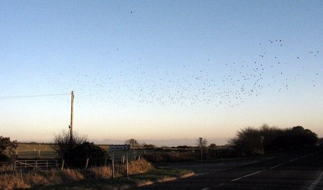 Flock of starlings crossing the A499 near the Llwyndyrys turnoff