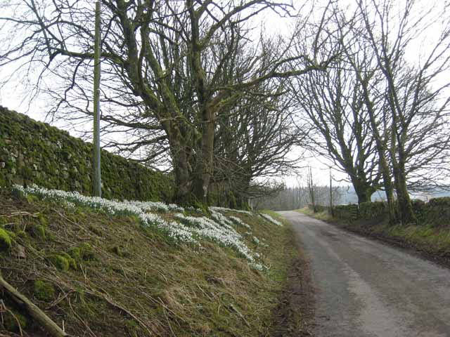 Bank of snowdrops outside Stongarthside Hall
