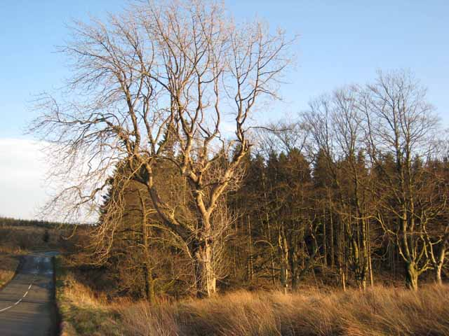 Roadside tree at Craiggyford Bridge