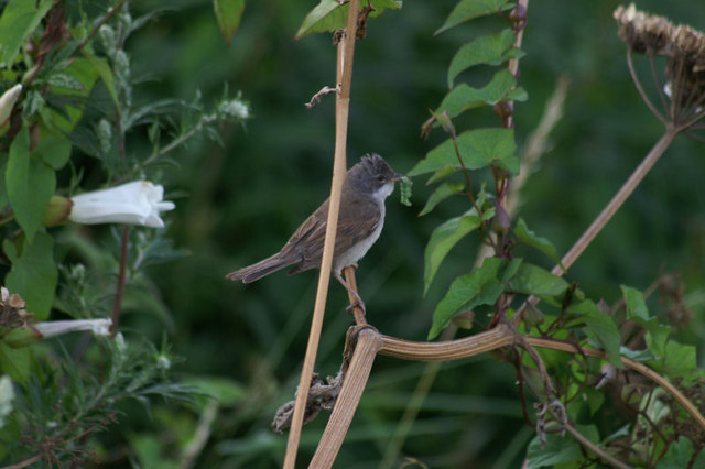 Common Whitethroat (Sylvia communis), Downholland Moss
