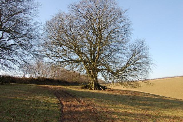 Beech tree next to footpath