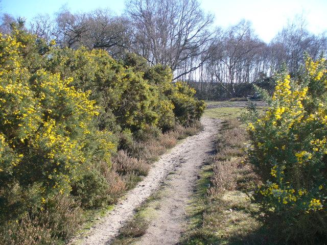 Blooming Gorse, Thursley Common