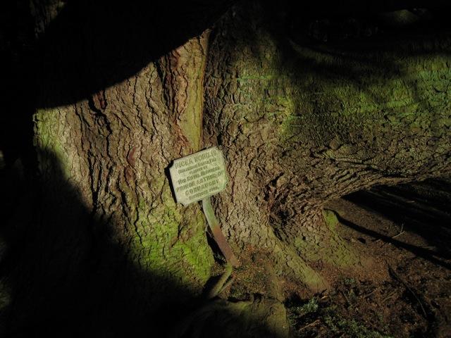 Columbian silver fir at Fyvie Castle