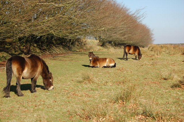 Exmoor ponies from the Anchor Herd, Winsford Hill