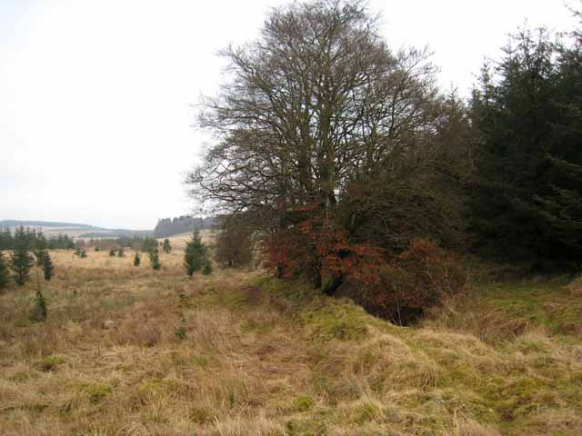 Broadwood trees on the edge of Kershope Forest