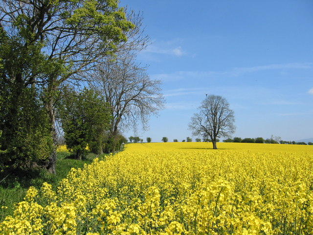 """yellow sea"" near Gorst Barn"