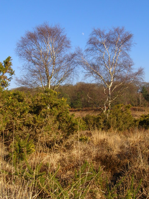 Silver birch trees, Ridley Bottom, New Forest