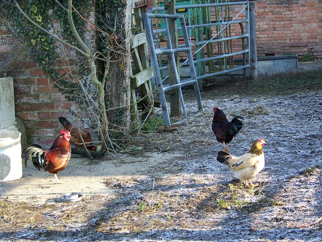 Chickens at Salterton Farm