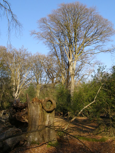 Trees in Ridley Wood, New Forest