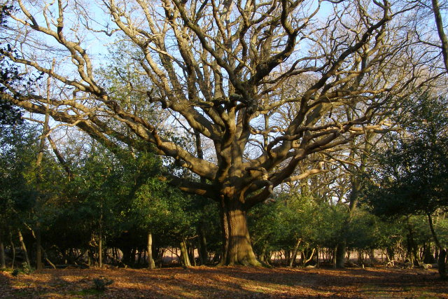 Large oak in the south-east corner of Ridley Wood, New Forest