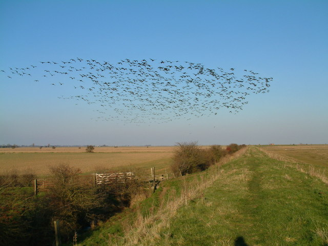 Migrating Birds on Saltmarshes