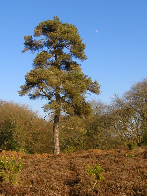 Isolated Scots pine north of Berry Wood, New Forest