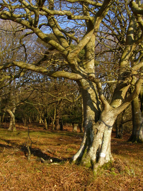 Beech tree, Berry Beeches, New Forest