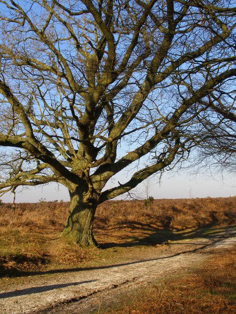 Large oak, Berry Beeches, New Forest