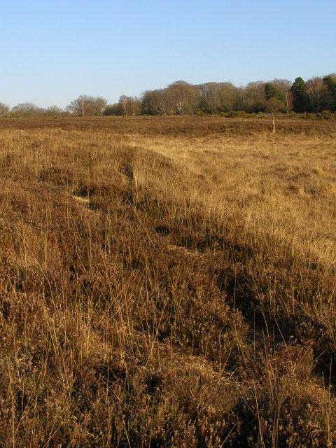 Edge of dry heath, Ridley Plain, New Forest