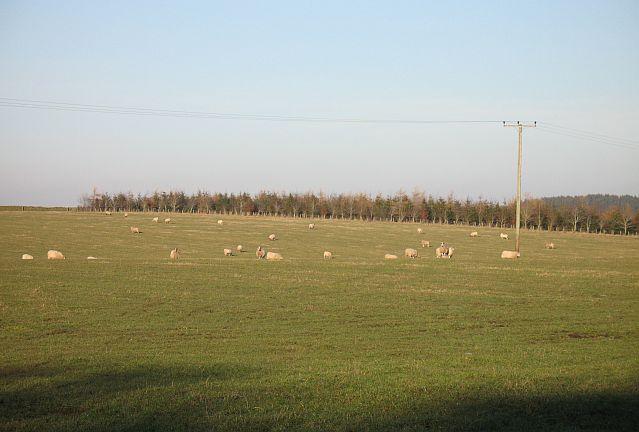 Sheep pasture, Rumbleton Law