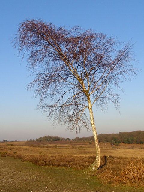Silver birch, Picket Plain, New Forest