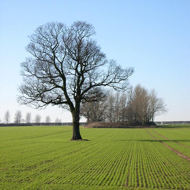 Oak Tree, Crops and Copse - Staffordshire