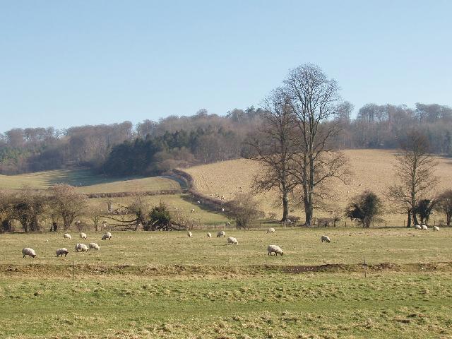 Sheep below North Cot Wood, Hambleden