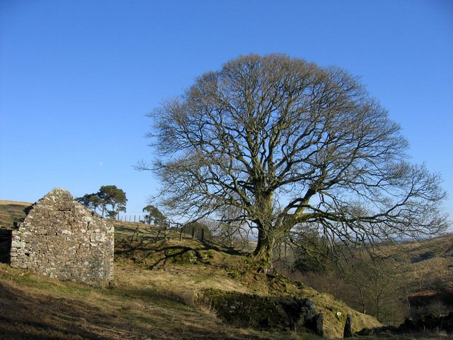 Ruin & oak tree at Low Roses Bower