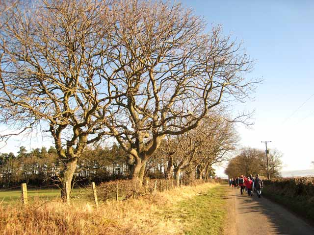 Roadside trees in winter