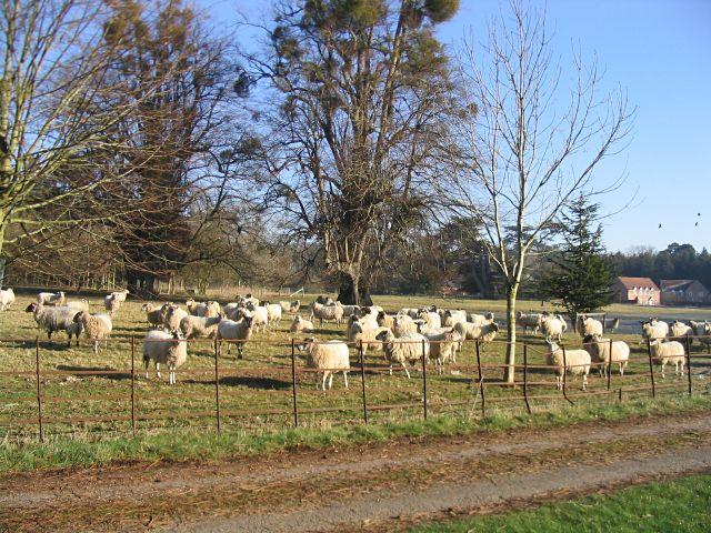 Sheep in the winter sunshine
