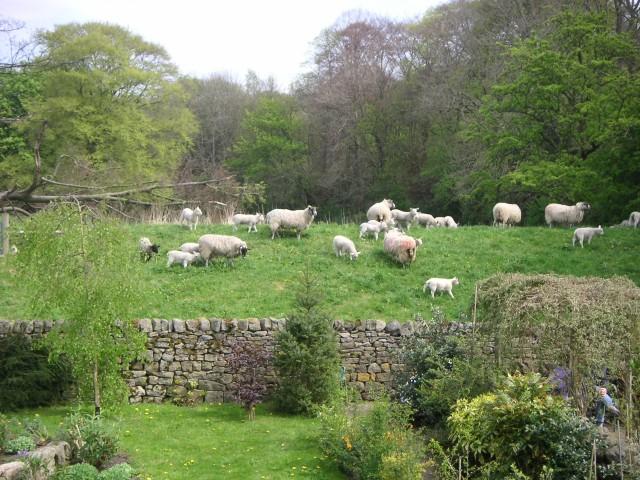 Sheep at Runley Mill