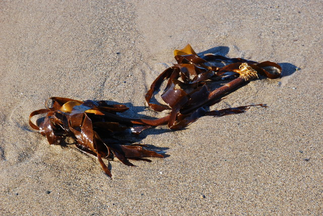 Môr-wiail Byseddog – Laminaria digitata - Kelp