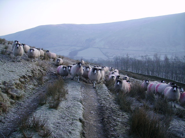 Sheep,Borrowdale