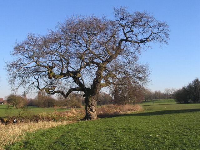 Oak, Lake View Park