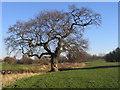 SP3179 : Oak, Lake View Park by E Gammie