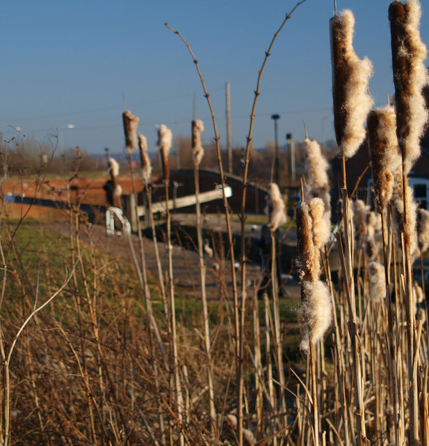 Bull rushes growing in the Chesterfield Canal