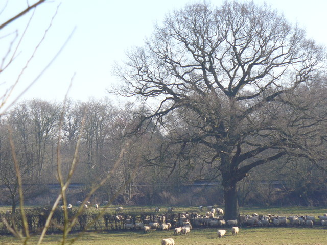 Sheep Grazing on the Downs