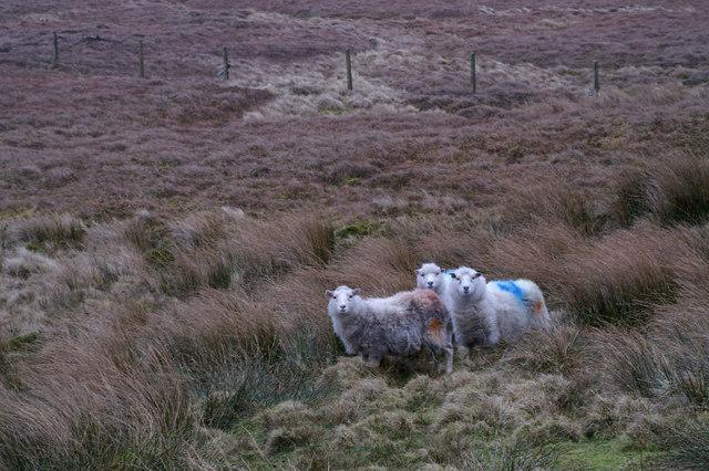 Shetland Sheep on the Hill of Colvister