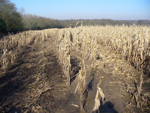 Last Year's Maize