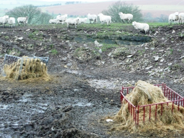 Sheep feeding in the quarry