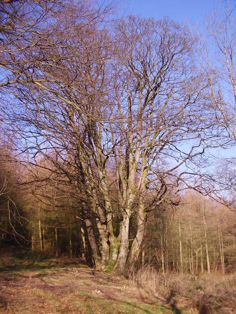 Coppiced beech tree