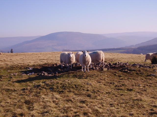 Sheep getting their cake